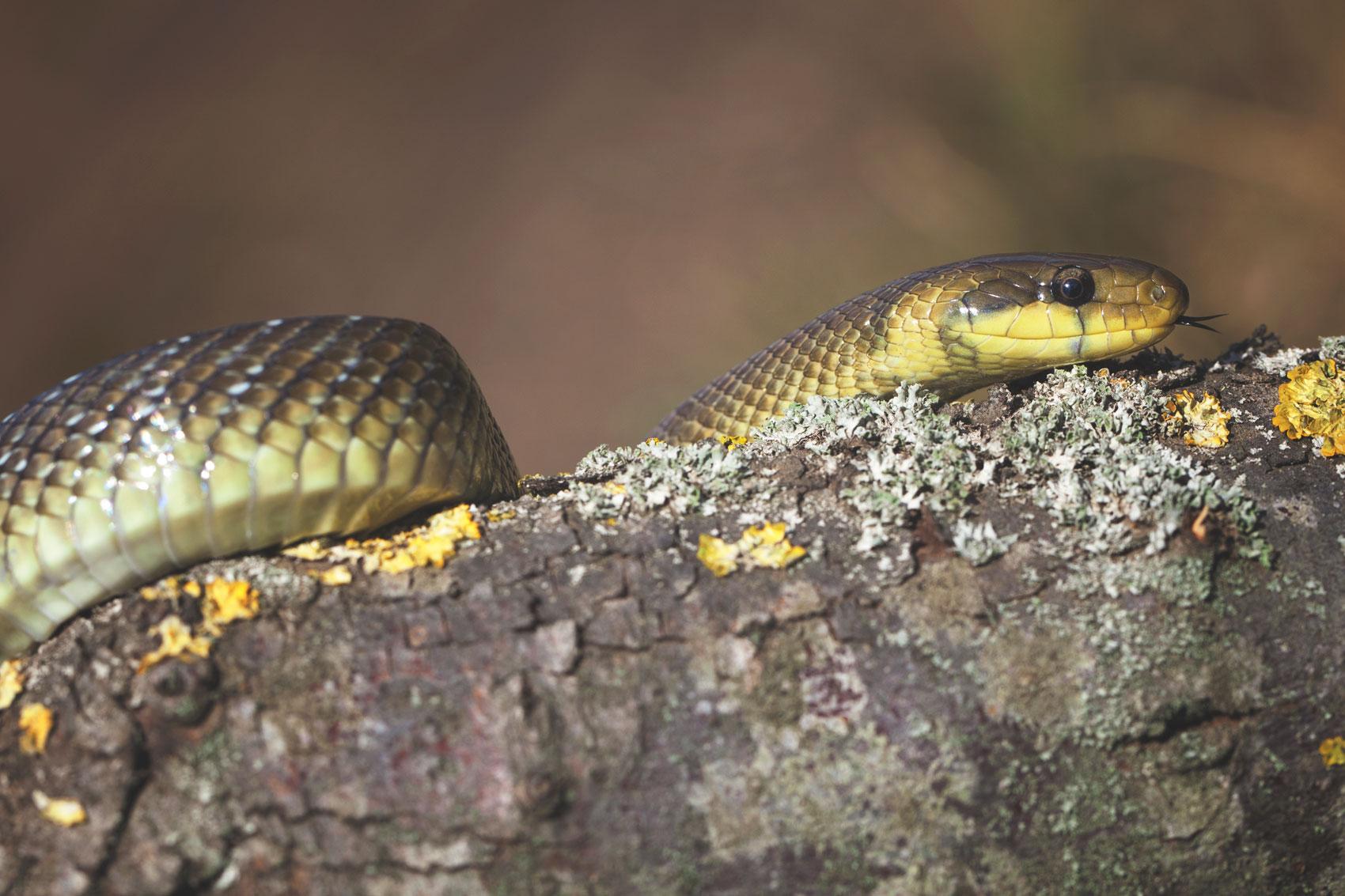 coperta-sarpele-lui-esculap-zamenis-longissimus