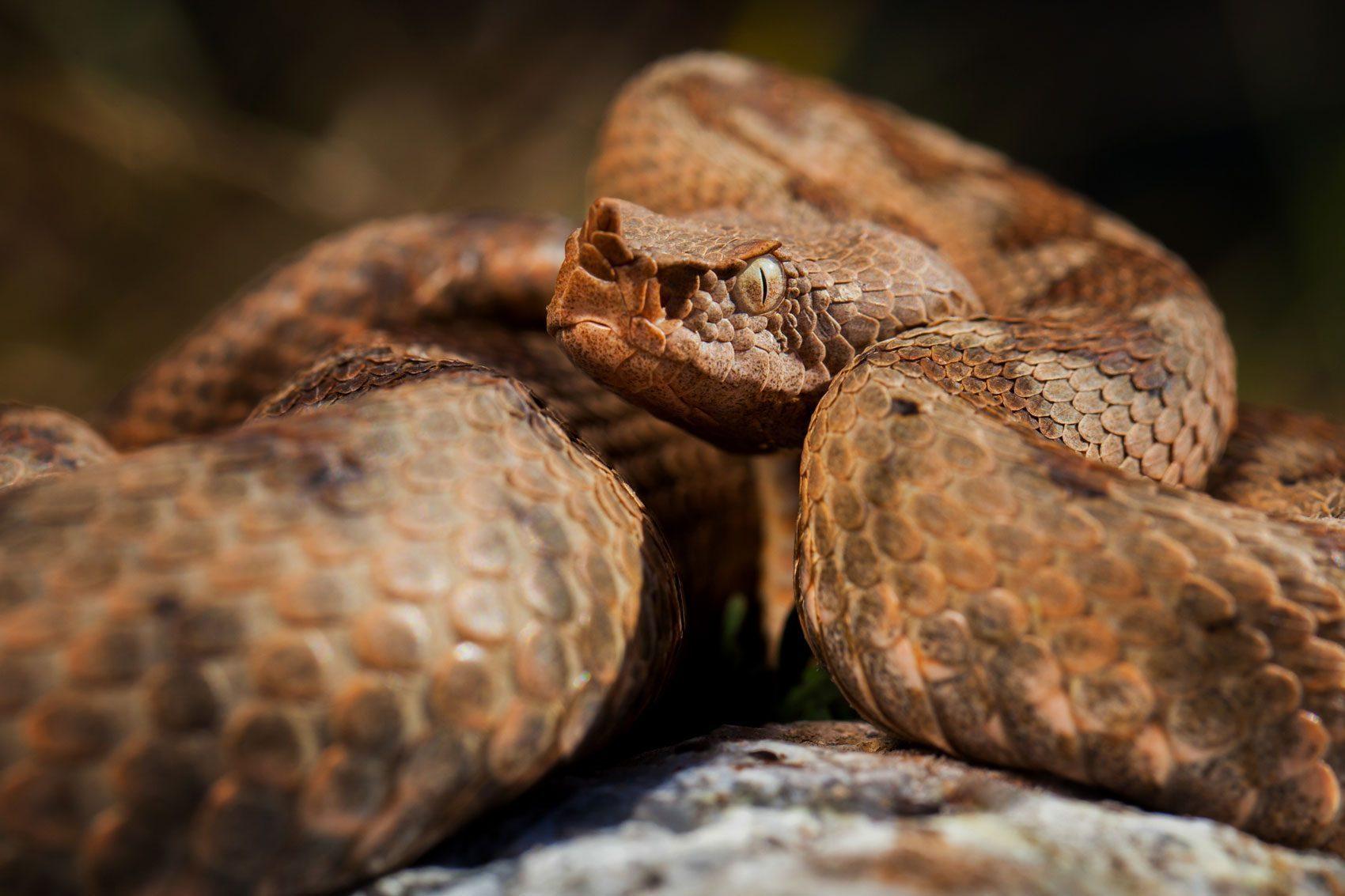 coperta-vipera-cu-corn-vipera-ammodytes
