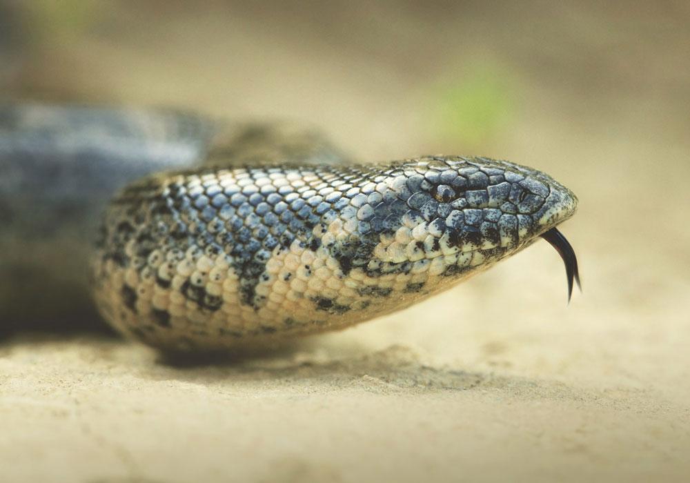 home-boa-de-nisip-Eryx-jaculus