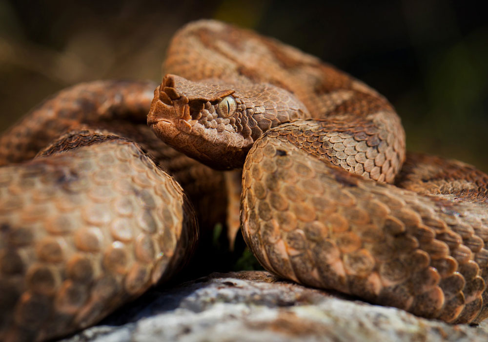 home-vipera-cu-corn-Vipera-ammodytes